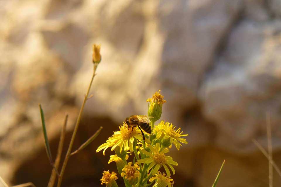 """Microorganismos de las abejas: bacterias """"buenas"""" versus bacterias """"malas"""""""